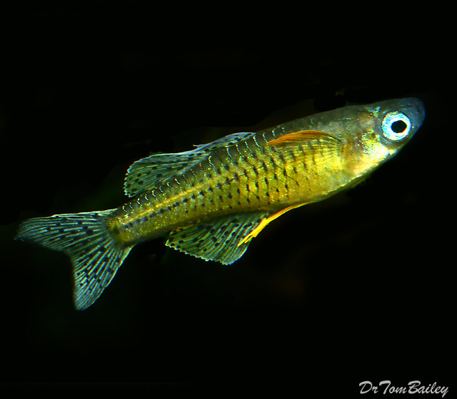 """Premium Gertrude's Spotted BlueEyes, Nano Fish, Size: 0.75"""" to 1"""""""