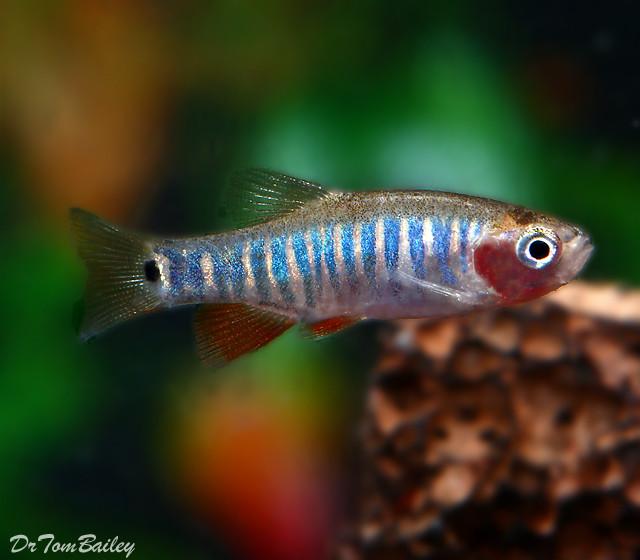 "Premium New and Rare, Zebra Rasbora, also called the Emerald Dwarf Rasbora, Nano Fish, Size: 0.75"" to 1"""