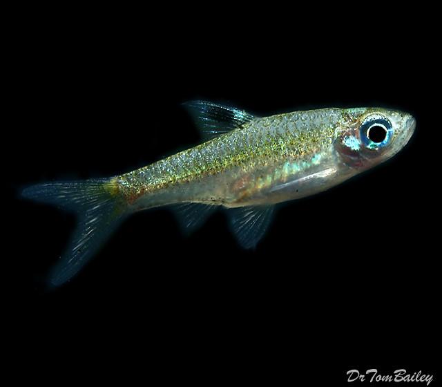 "Premium New and Rare, Emerald Eye Rasbora, Nano Fish, Size: 1"" to 1.2"""