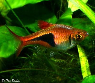 Premium Harlequin Rasbora, Nano Fish, Size: 0.75