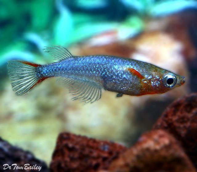 """Premium Daisy's Ricefish, Nano Fish, Size: 1"""" to 1.2"""""""