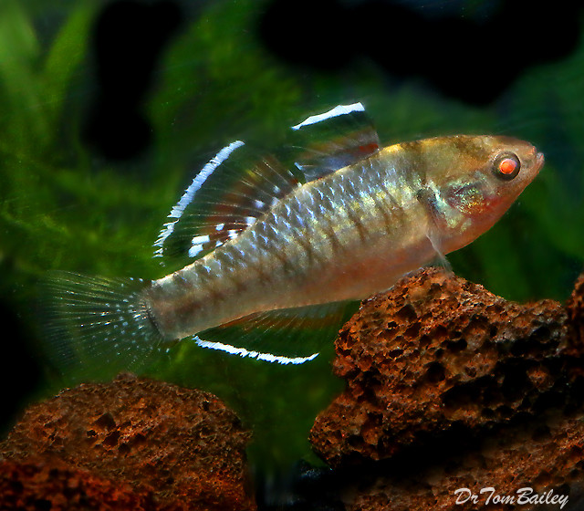 Premium New & Rare, Empire Gudgeon