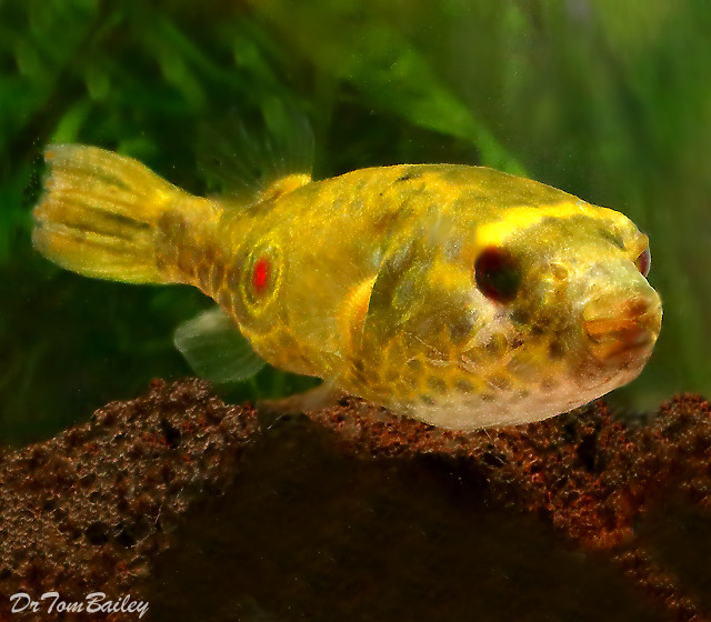 "Premium Freshwater Fangs Pufferfish, Size: 2"" to 2.5"""