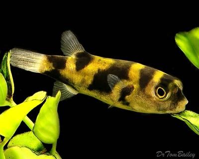 Premium WILD, Rare Freshwater Amazon Pufferfish, Size: 1