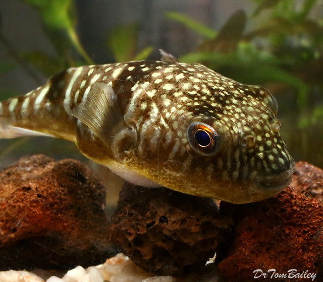 "Premium Rare Milk Spotted Pufferfish, Size: 1"" to 1.5"""