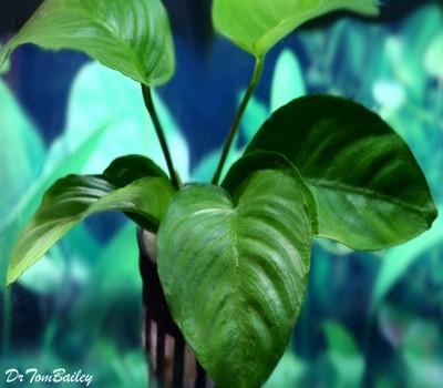 Premium Anubias Barteri Plant, Size: 2