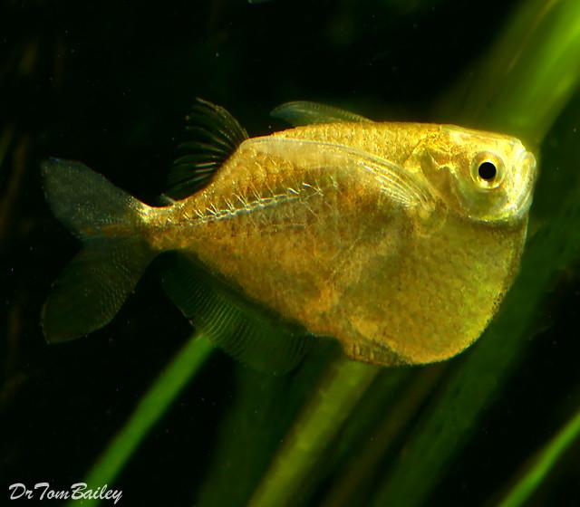 """Premium Platinum Hatchetfish, Size: 0.75"""" to 1"""""""