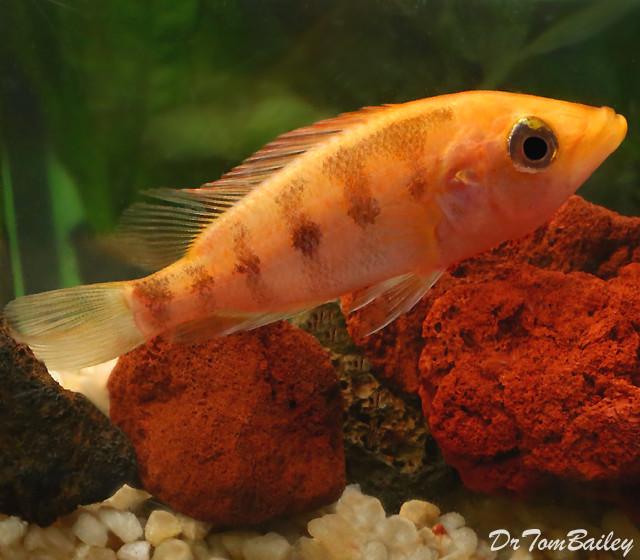 Premium Red Bay Snook Cichlid
