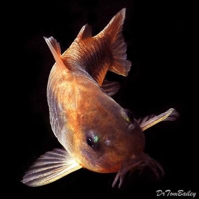 Premium Bronze Corydoras Catfish, Size: 1