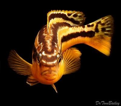Premium Malawi Melanochromis Auratus Mbuna Cichlid, Size: 1.5