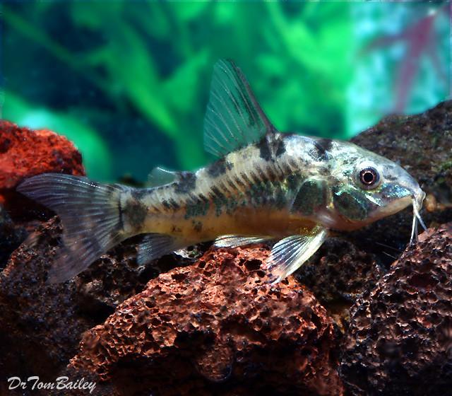 "Premium Peppered Paleatus Corydoras Catfish, Size: 1"" to 1.2"""
