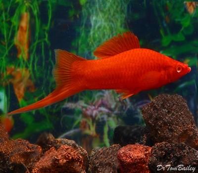 Premium Red-Eye Red Swordtail, Size: 2