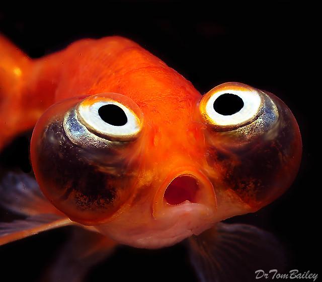 """Premium Rare Gold Celestial-Eye Goldfish, Size: 2"""" to 2.5"""""""