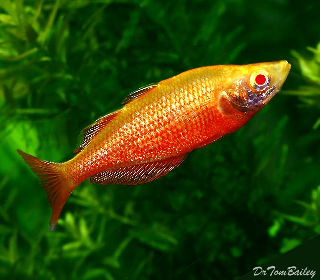 Premium Albino Irian Rainbowfish