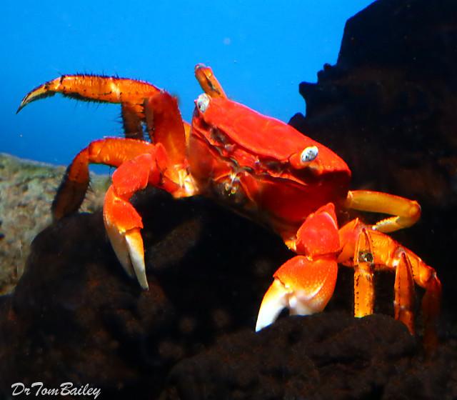 Premium New & Rare, Freshwater Red Chili Crab