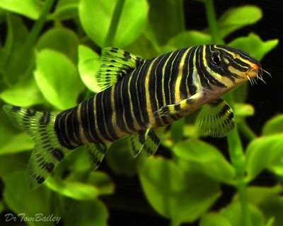 Premium Zebra Loach, Size: 2