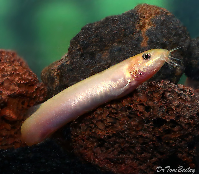 "Premium Gold Weather Loach, Size: 2"" to 2.5"""