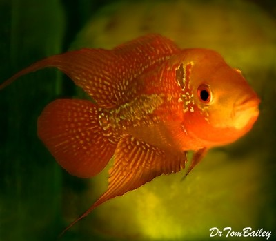 Premium Rare and New, Red Chili Flowerhorn Cichlid, Size: 3.5