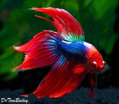 Premium MALE Red & Blue Betta Fish, Size: 2.5