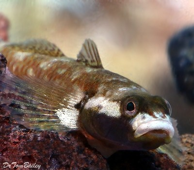 Premium Rare White Cheek Goby, Size: 1