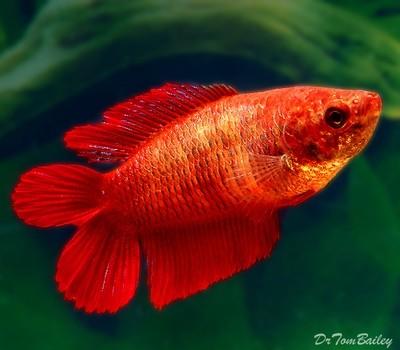 Premium FEMALE Natural Twin Tail Red Betta Fish, Size: 1