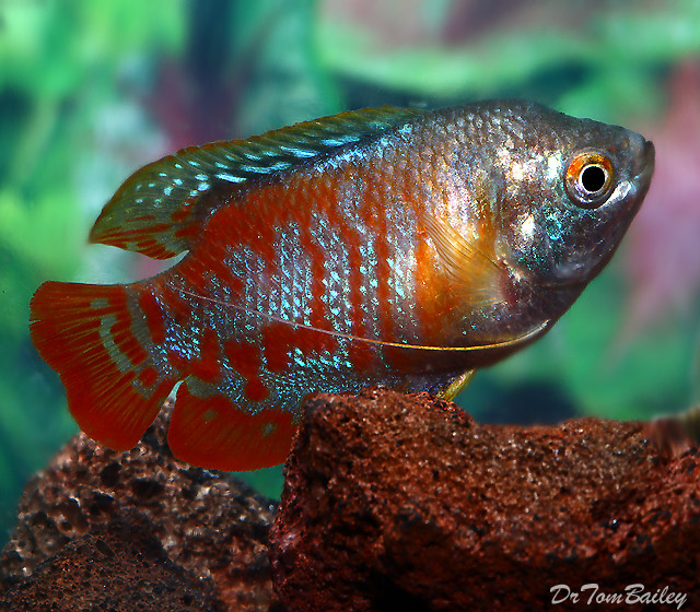 """Premium MALE Young Peacock Dwarf Gourami, Size: 2"""" to 2.5"""""""