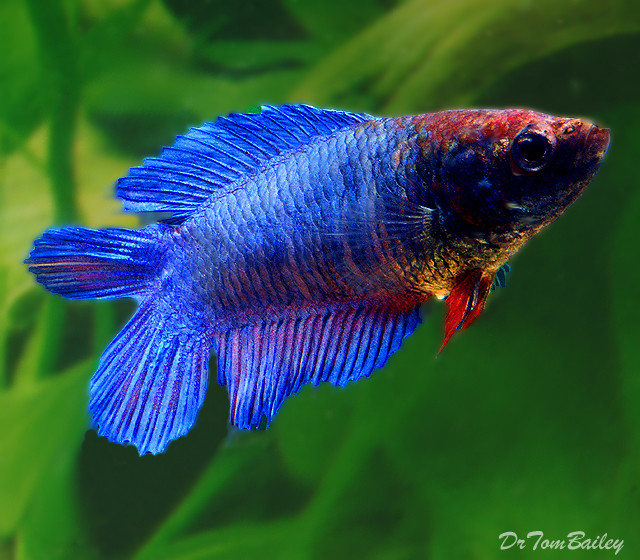 """Premium FEMALE Natural Twin-Tail Blue Betta Fish, Size: 1"""" to 1.5"""""""
