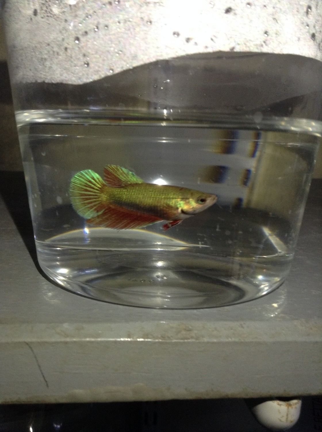 "Premium FEMALE Green Halfmoon Betta Fish, Size: 1.5"" to 2"""
