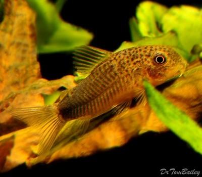 Premium WILD, Similis Corydoras Catfish, Size: 1
