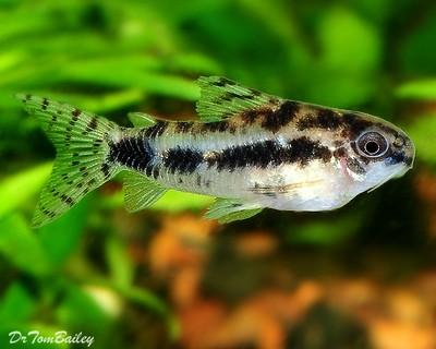 Premium WILD, Dwarf Corydoras Habrosus Catfish, Size: 0.75
