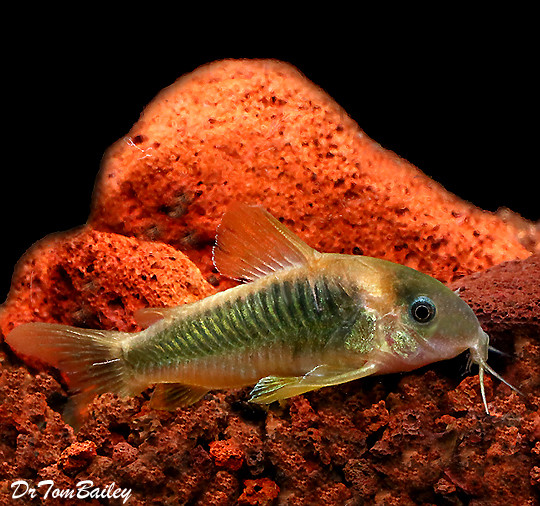 "Premium WILD, New Gold and Green Corydoras Catfish, Size: 1"" to 1.5"""