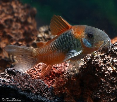 Premium WILD, Venezuelan Orange Spot Corydoras Catfish, Size: 0.75