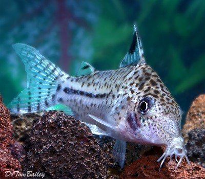 Premium WILD, Spotback Corydoras Catfish