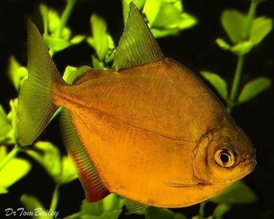Premium Silver Dollar Fish, Size: 1