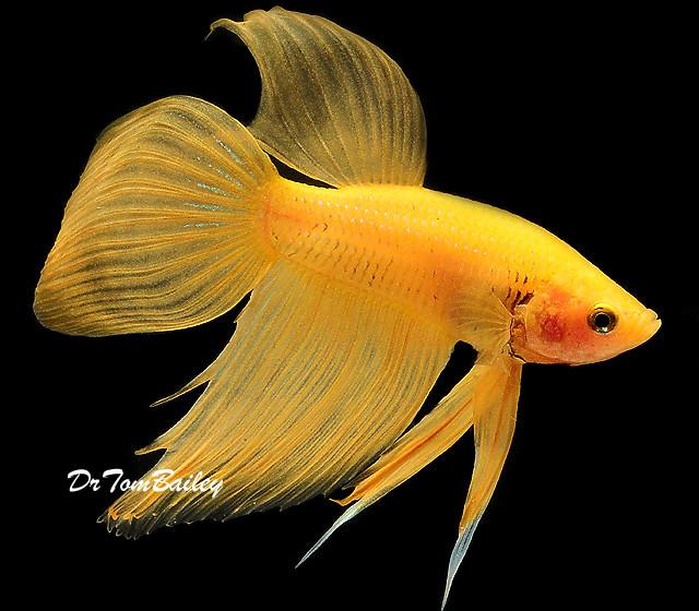 "Premium MALE Yellow Betta Fish, Size: 2.5"" to 3"""