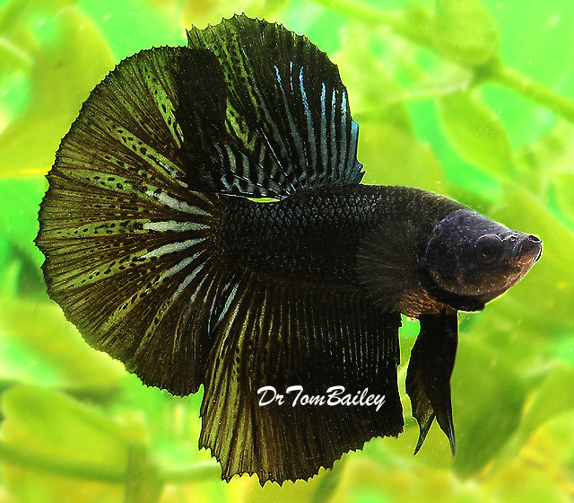 "Premium MALE Black Halfmoon Betta Fish, Size: 2"" to 2.5"""