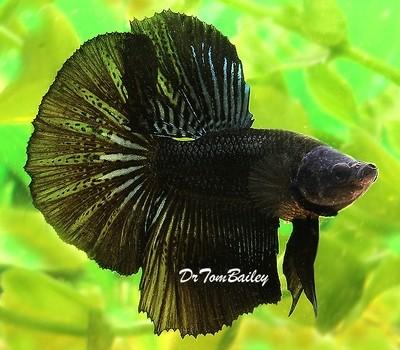 Premium MALE Black Halfmoon Betta Fish, Size: 2