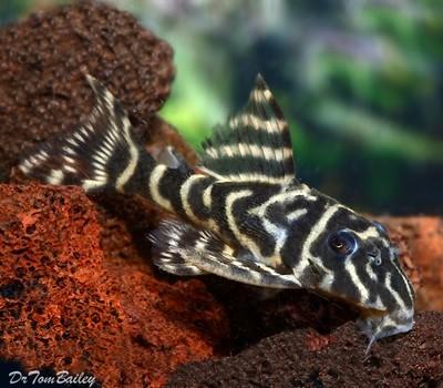 Premium WILD, New, and Rare Orinoco Zebra Pleco, Hypancistrus debilittera, L129, Size: 2