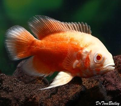 Premium Albino Red Oscar Cichlid, Size: 2