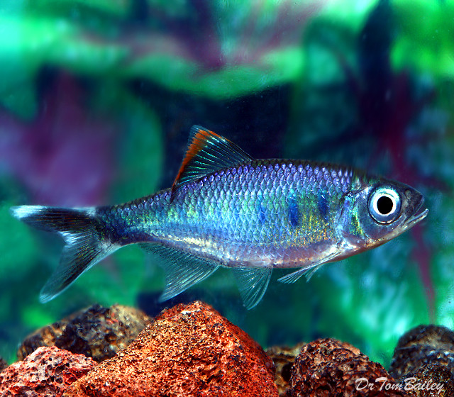 "Premium New and Rare, Royal Blue Danio, Size: 2.5"" to 3"""