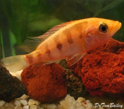 Premium Red Bay Snook Cichlid