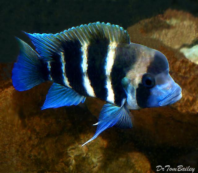 """Premium Lake Tanganyika 6-Stripe Frontosa Cichlid, Size: 1.5"""" to 2"""""""