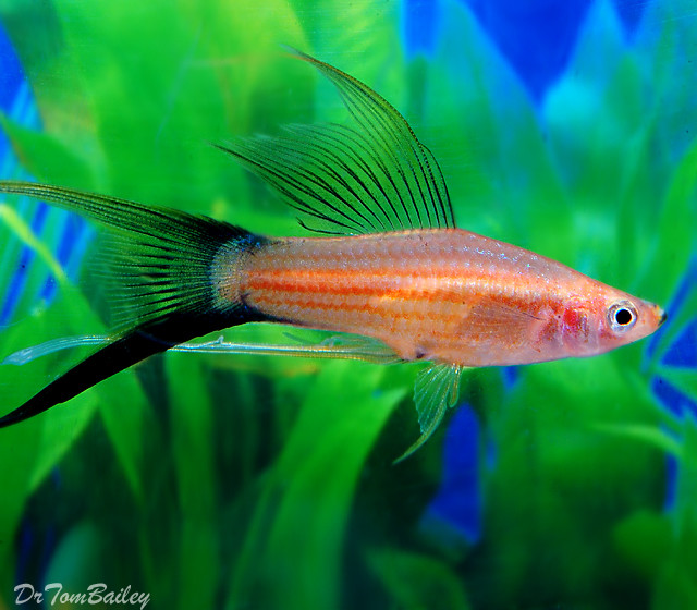 "Premium New and Rare, Assorted Lyretail Swordtails, Size: 2"" to 2.5"""