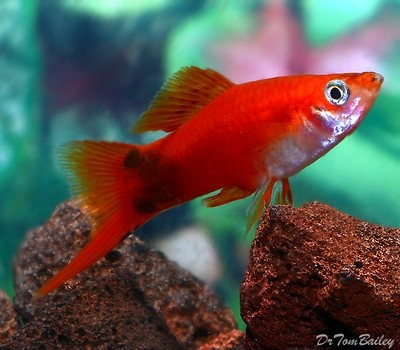 Premium MALE Red Mickey Mouse Swordtail, Size: 1.5