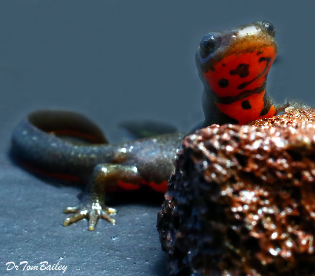 """Premium Fire Belly Newt, Size: 2.5"""" to 3"""""""