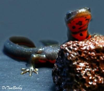 Premium Fire Belly Newt, Size: 2.5