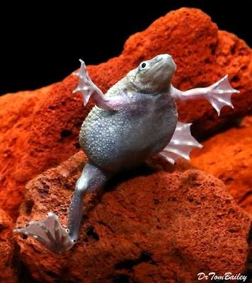 Premium FEMALE Breeder Dwarf Frog, Size: 1.5