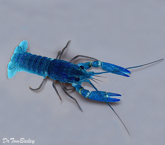 "Premium Blue Lobster, Size: 1.5"" to 2"""