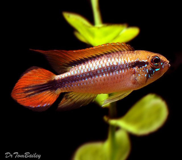 """Premium New Double Red Agassizii Dwarf Cichlid, Size: 1.5"""" to 2"""""""
