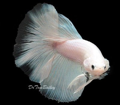Premium MALE New and Exciting, White Halfmoon Betta Fish, Size: 2